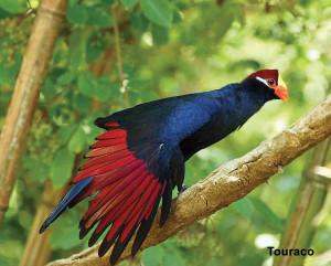 Nota Aves Colores-Touraco (1) jpg
