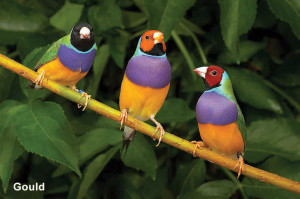 Nota Aves Colores gould jpg