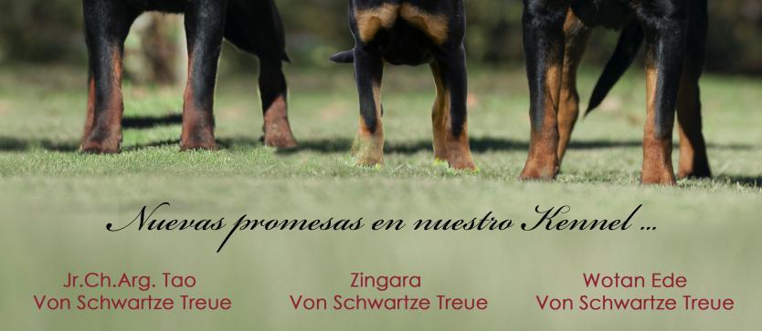 Von Schwartze Treue Rottweiler