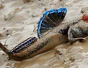 Saltarines del fango