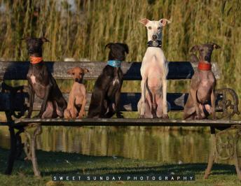 El Italian Greyhound y su mirada cautivadora…