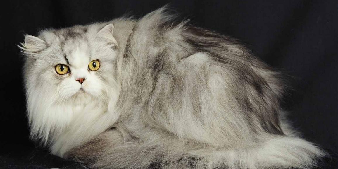 Grooming Felino